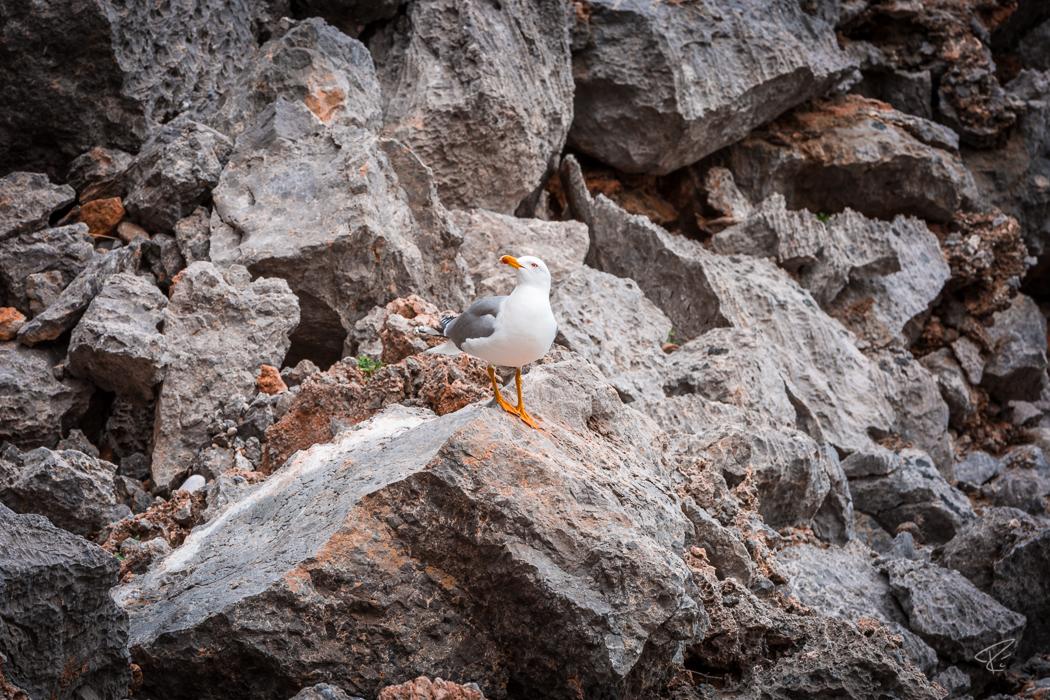 Mallorca Torrent de Pareis Sa Calobra Serra de Tramuntana seagull