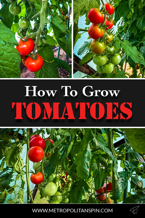 How To Grow Tomatoes Pinterest Cover