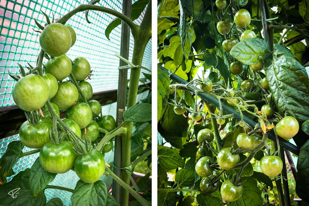 Tomato plant Tomatenpflanze